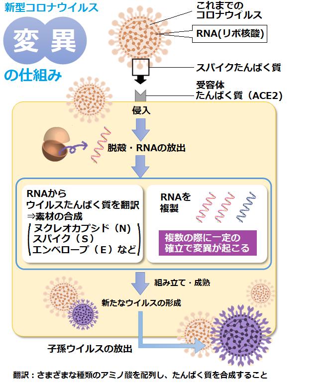新型コロナウイルス変異の仕組み